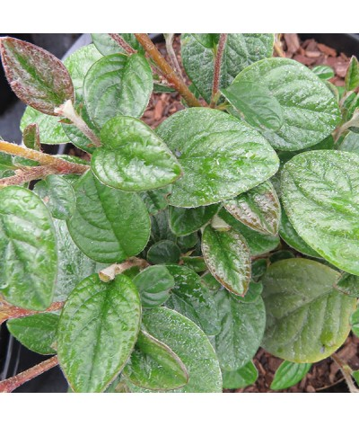 Cotoneaster rhytidophyllus (3lt)