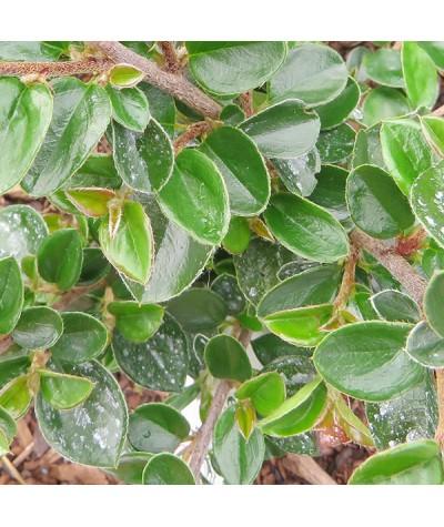 Cotoneaster shannanensis (3lt)