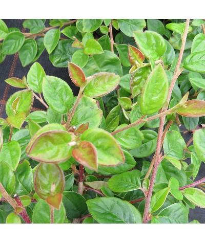 Cotoneaster vandelaarii (2lt)