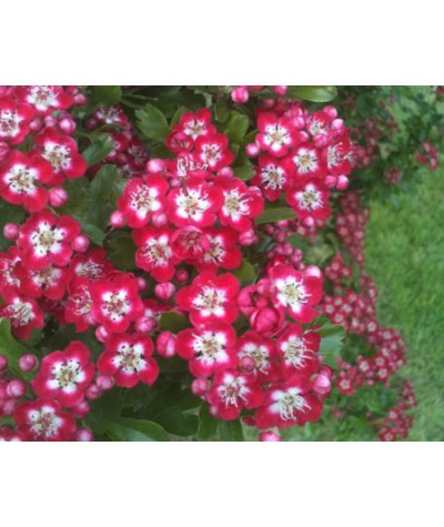 Crataegus laevigata Crimson Cloud  (AKA Punicea) (13.5lt)