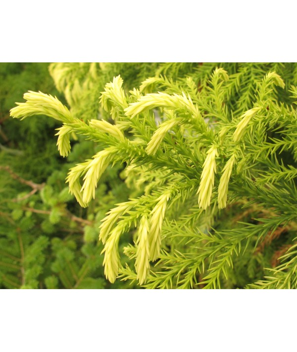 Cryptomeria japonica Sekkan-sugi (7lt)