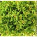 Cryptomeria japonica Vilmoriniana (3lt)