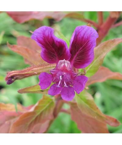 Cuphea viscosissima (9cm)