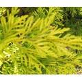 Cuprocyparis leylandii Gold Rider (3lt)