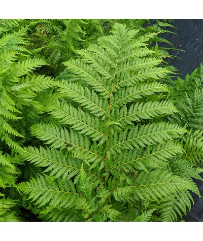 Cyathea australis (3lt)
