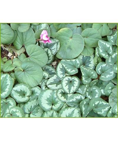 Cyclamen coum (9cm)