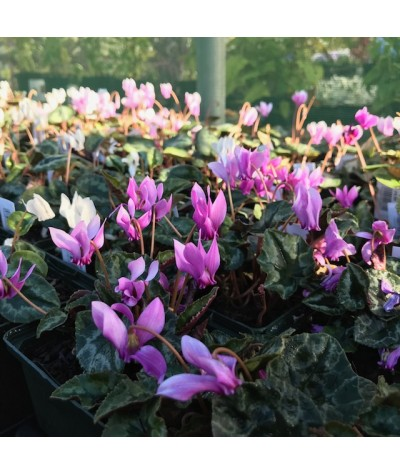Cyclamen hederifolium Pink (9cm)