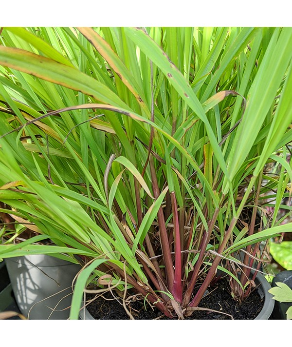 Cymbopogon citratus (Lemon Grass) (1lt)