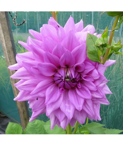 Dahlia Blue Boy (3lt)