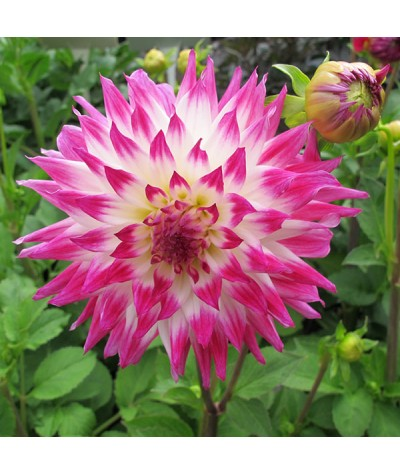 Dahlia Dutch Explosion (3lt)