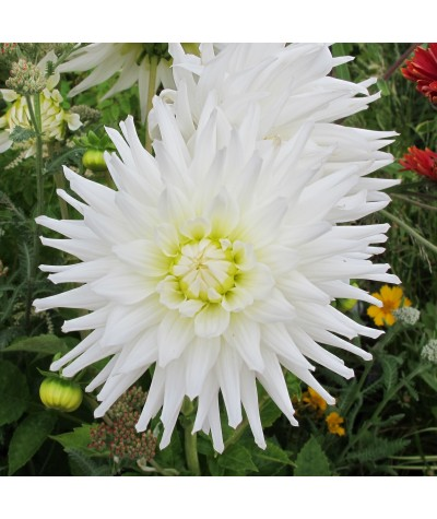 Dahlia My Love (3lt)