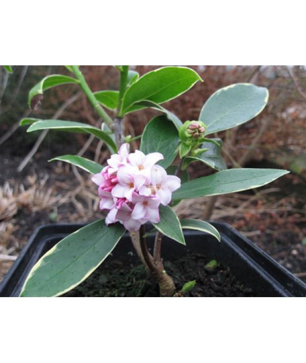 Daphne odora Aureomarginata (5lt)