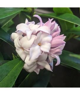 Daphne Perfume Princess (4lt)
