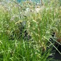 Deschampsia cespitosa Golden Veil (1.5lt)