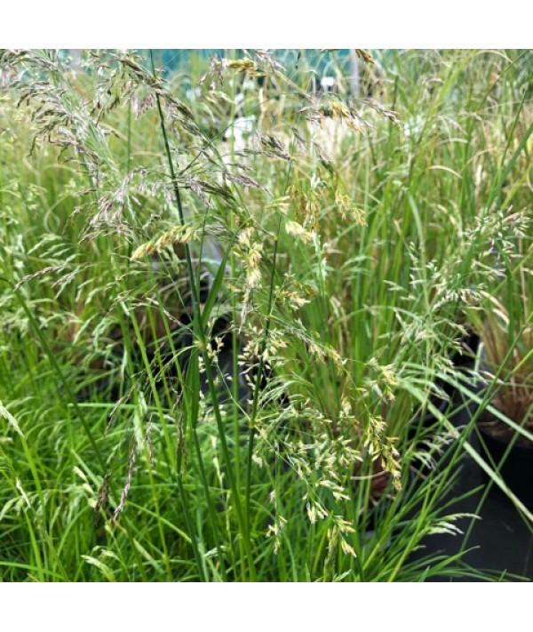 Deschampsia cespitosa Golden Veil (1.5lt)