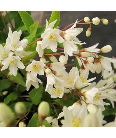 Deutzia gracilis Nikko (2lt)