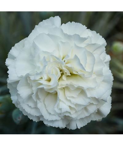Dianthus Bridal Star (1lt)