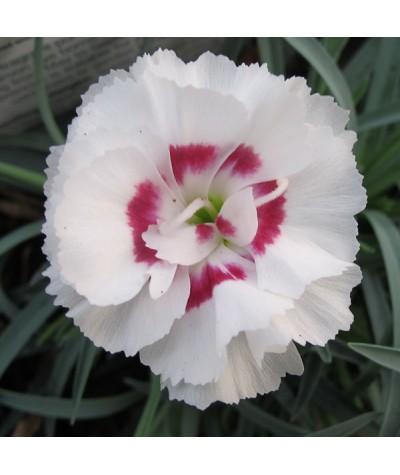 Dianthus Coconnut Sundae (1lt)