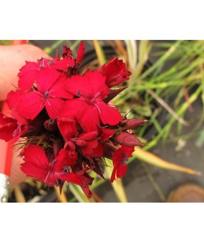 Dianthus cruentus (1.5lt)