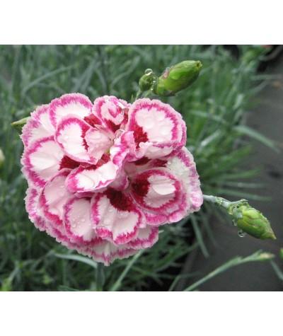 Dianthus Gran's Favourite (1lt)
