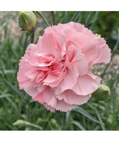 Dianthus Letitia Wyatt (1lt)
