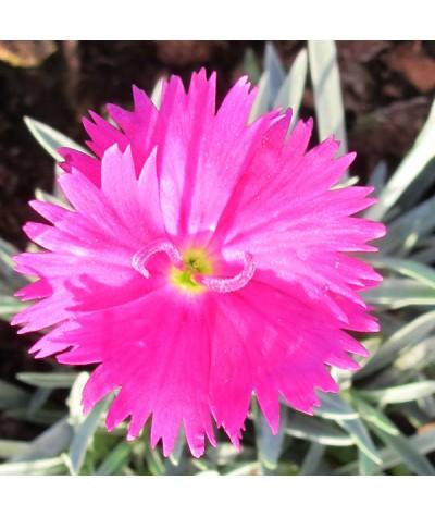 Dianthus Neon Star (1lt)