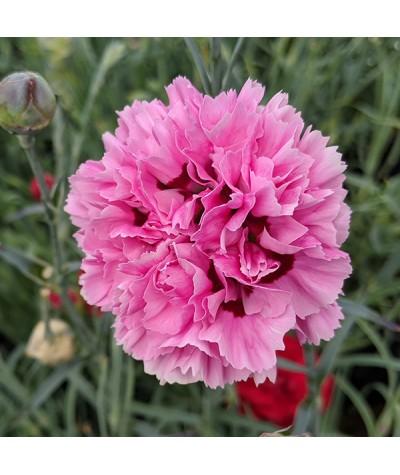 Dianthus Pink Ruffles (1lt)