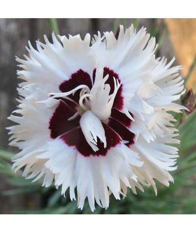 Dianthus Stargazer (1lt)