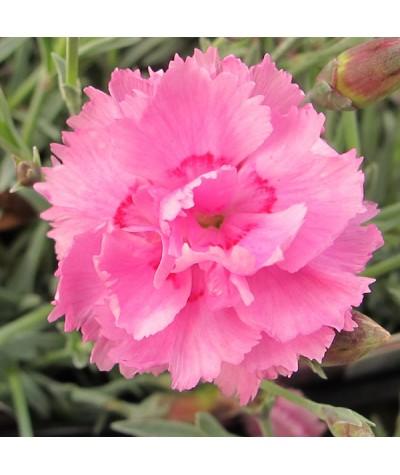 Dianthus Whatfield Cancan (1lt)