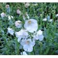 Diascia Breezee Plus White (0.8lt)