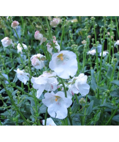 Diascia Breezee Plus White (1lt)