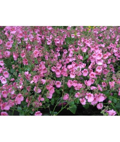 Diascia Little Dancer (1lt)