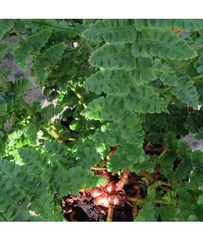 Dryopteris affinis Cristata Angustata (1.5lt)