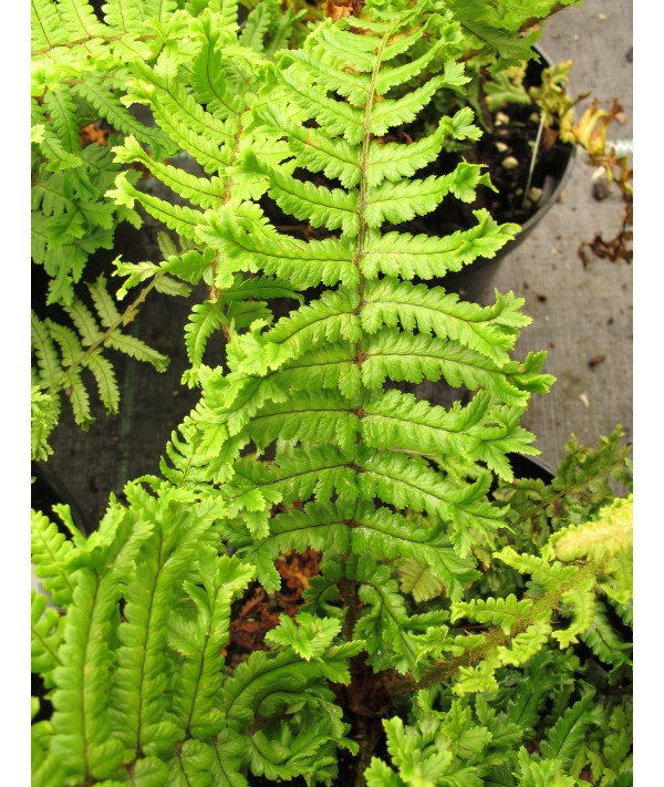 Dryopteris affinis Cristata (The King) (1.5lt)
