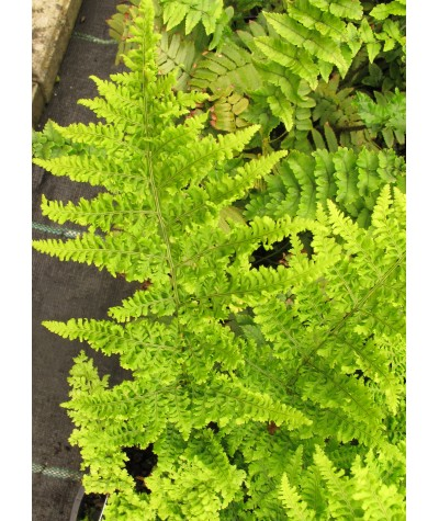 Dryopteris dilatata Crispa Whiteside (1.5lt)