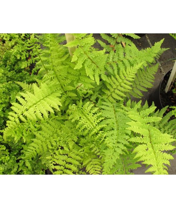 Dryopteris filix-mas Barnesii (1.5lt)