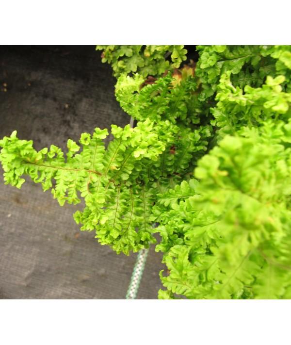 Dryopteris filix-mas Crispa Cristata (1.5lt)