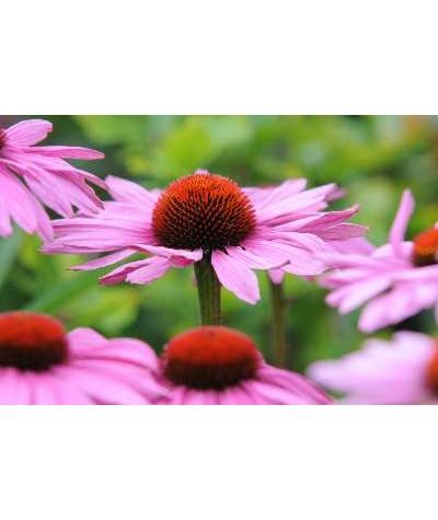 Echinacea purpurea Magnus (1lt)