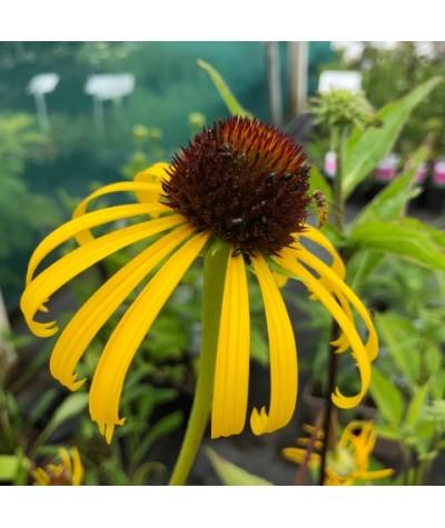 Echinacea paradoxa (1lt)