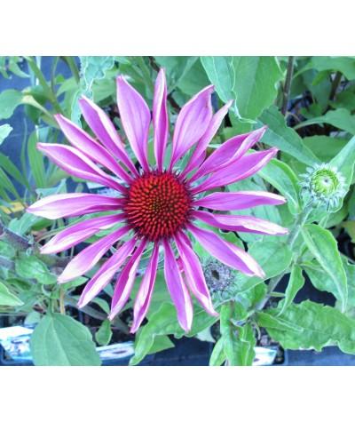 Echinacea Primadonna Deep Pink (1lt)