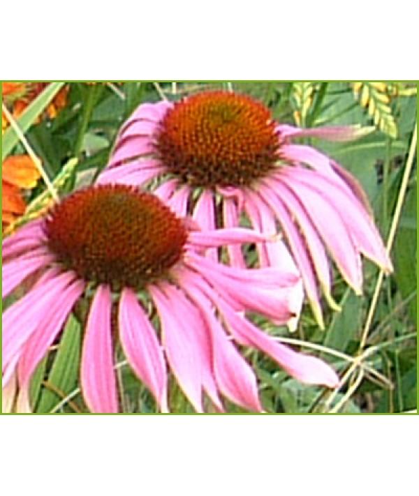 Echinacea purpurea (1lt)