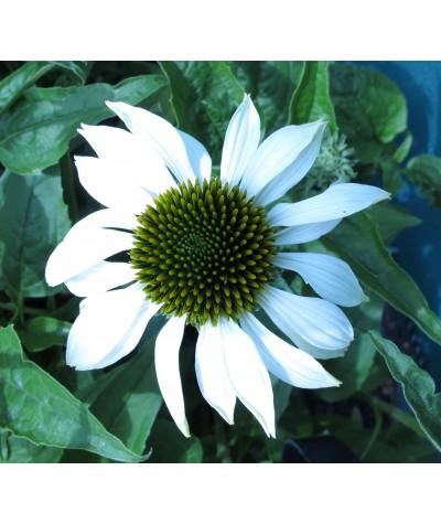 Echinacea purpurea Lucky Star (1lt)