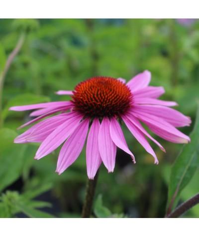 Echinacea purpurea Doubledecker (1lt)