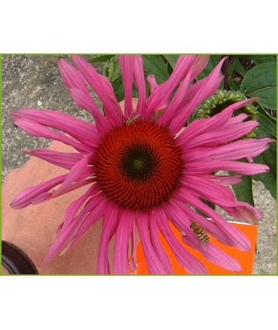 Echinacea purpurea Rubinstern  (1lt)