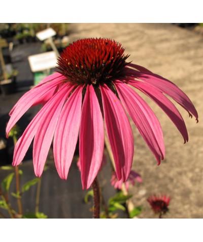 Echinacea Starlight (1lt)