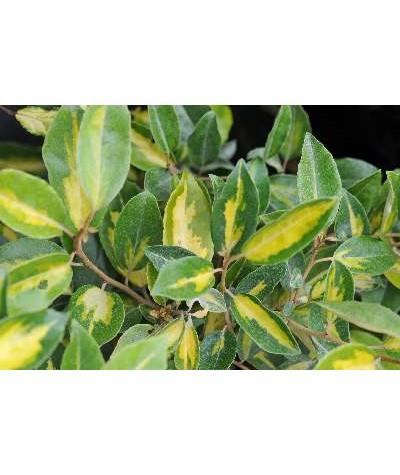Elaeagnus x ebbingei Limelight (3lt)