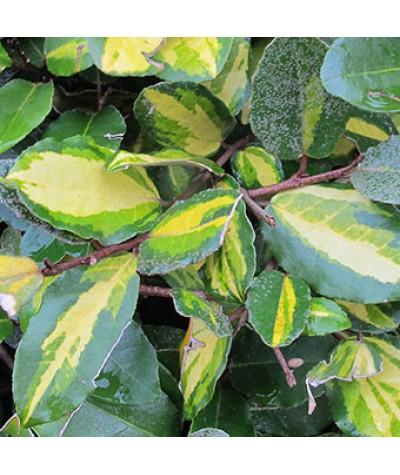 Elaeagnus pungens Maculata (3lt)