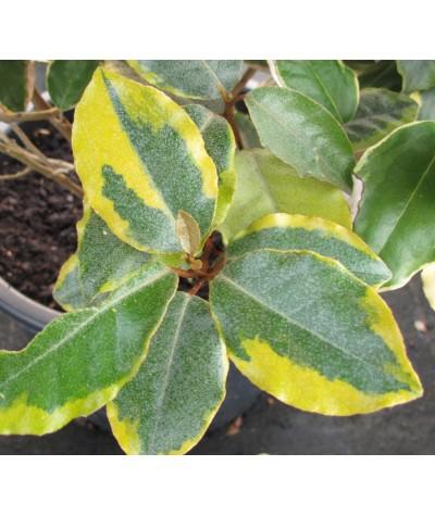 Elaeagnus x ebbingei Viveleg (standard) (25lt)