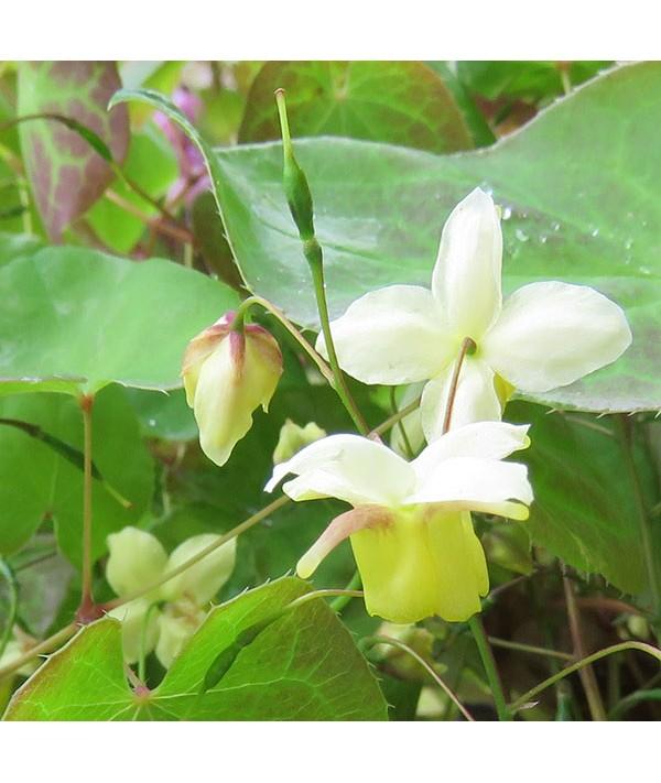 Epimedium x versicolor Sulphureum (1.5lt)
