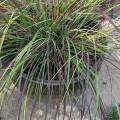 Eragrostis curvula Totnes Burgundy (2lt)